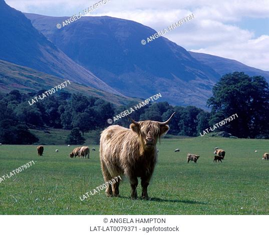 Pasture. Herd of cows. Long red haired. Large horns. One looking at camera. Hills