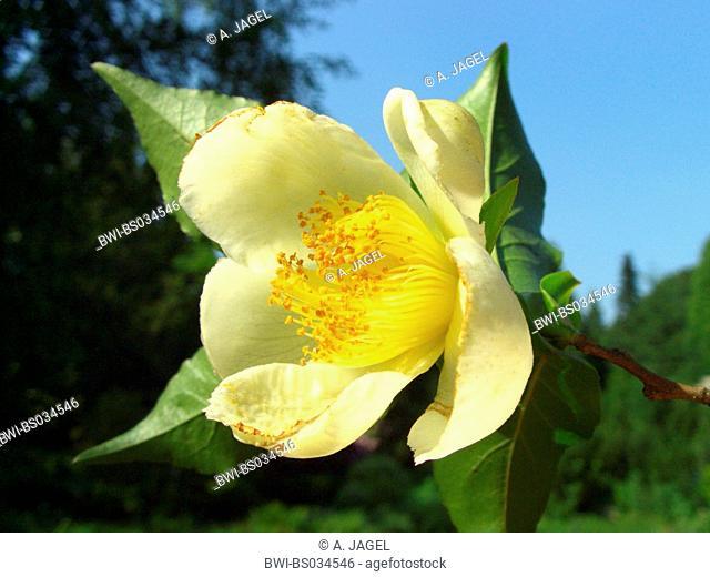 Japanese stewartia (Stewartia pseudocamellia), flower