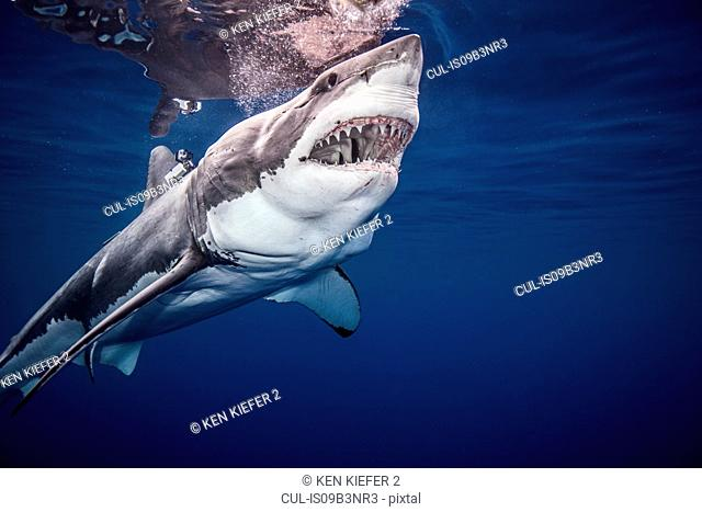 Great White shark, underwater view