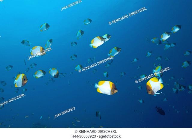 Shoal of Pyramid Butterflyfish, Hemitaurichthys polyepis, Christmas Island, Australia