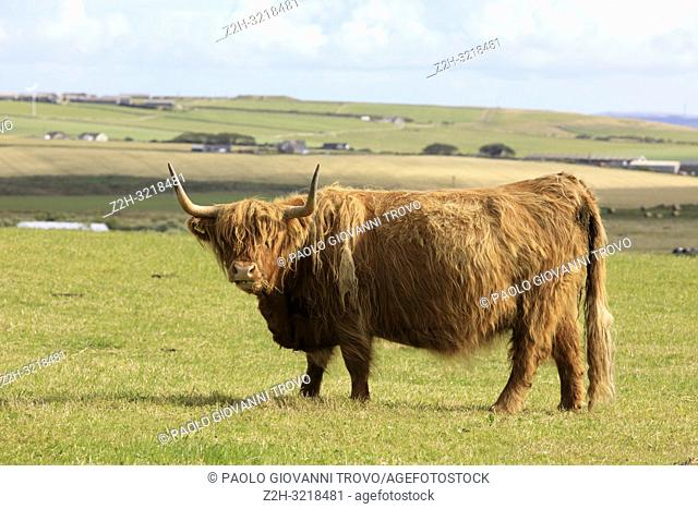 Highland cow, Orkney, Scotland, Highlands, United Kingdom