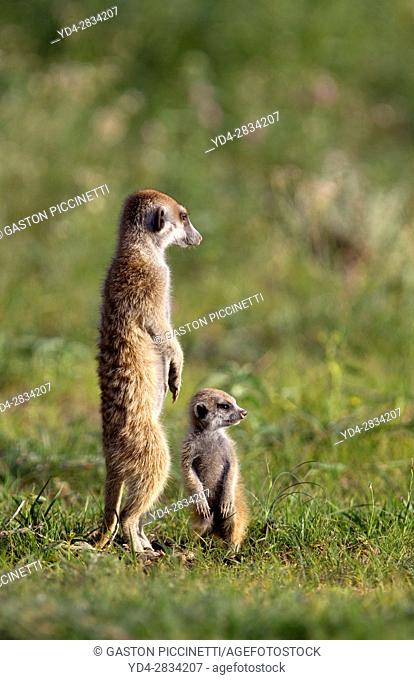 Suricate (Suricata suricatta) - Mother and young, Kgalagadi Transfrontier Park, Kalahari desert, South Africa/Botswana