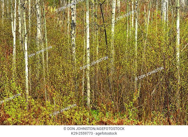 Spring woodland- aspen tree trunks and emerging foliage, Greater Sudbury, Ontario, Canada
