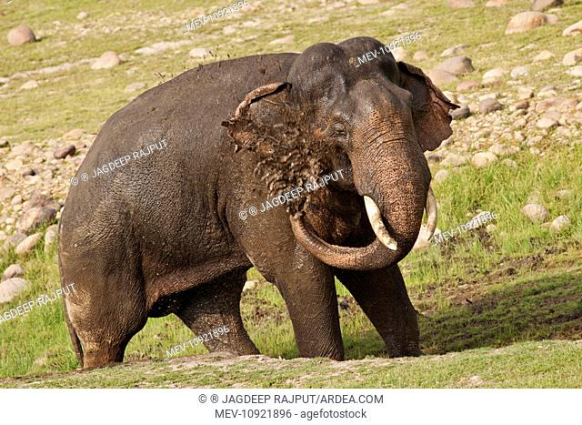 Asian / Indian Elephant - taking mud bath. Corbett National Park, India. (Elephas maximus)