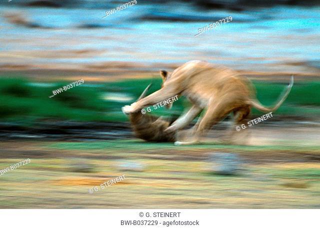 lion (Panthera leo), lion playing, Namibia, Etosha National Park