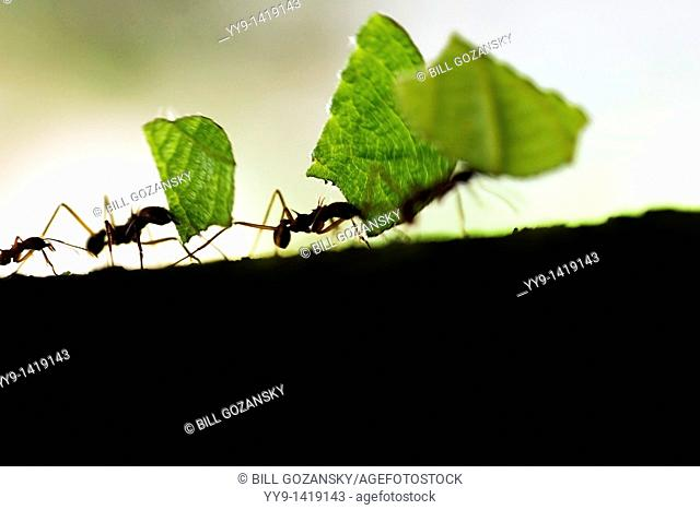 Close-up of Leafcutter Ants carrying leaves - Osa Peninsula - near Puerto Jimenez, Costa Rica