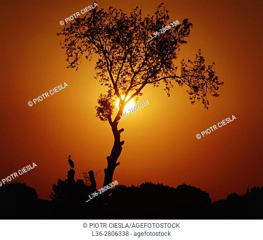 Poland. Stork on a tree during sunset