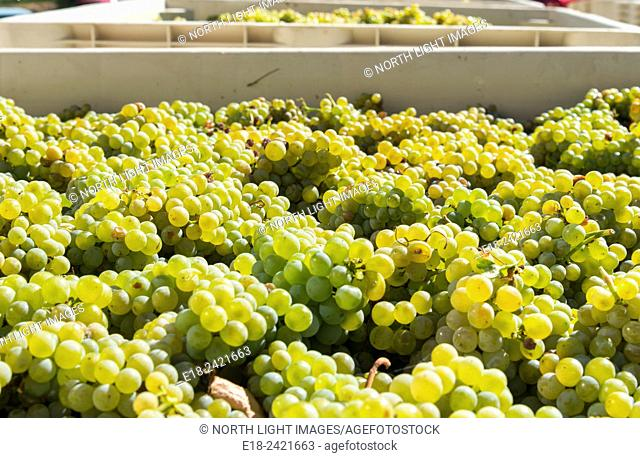 Canada, BC, Oliver. Geringer Brothers winery in the Okanagan Valley. Great vats of fresh grapes harvested at the end of summer