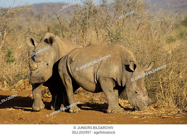 White Rhinoceros, Square-lipped Rhinoceros (Ceratotherium simum). Two standing in savannah. Madikwe, South Africa