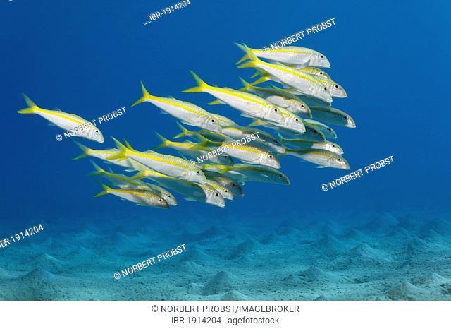 School of Yellow Goatfish (Mulloidichthys vanicolensis), above sandy bottom, Makadi Bay, Hurghada, Egypt, Red Sea, Africa