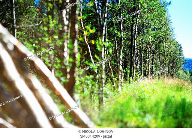 Felled birches in sunlite bokeh background hd