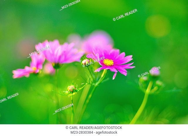 A soft-focus depiction of cosmos flowers, Pennsylvania, USA