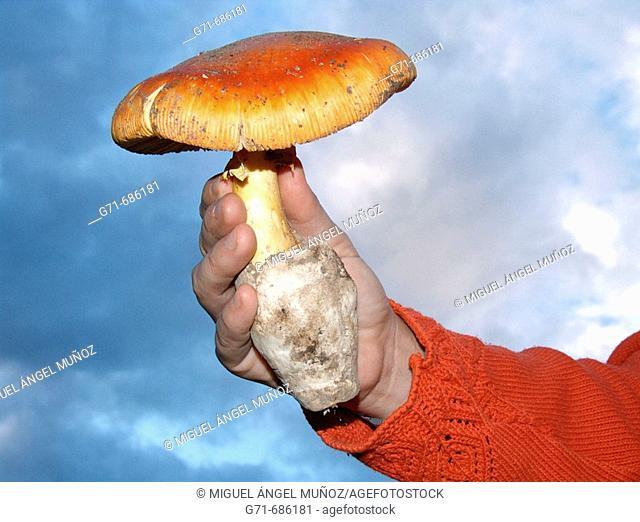 Woman holding in hand an Amanita Caesarea mushroom