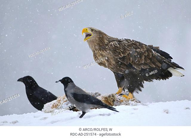 Raven Hooded Crow and White-tailed Sea Eagle at fox carcass Norway Corvus corax Corvus corone cornix Haliaeetus albicilla