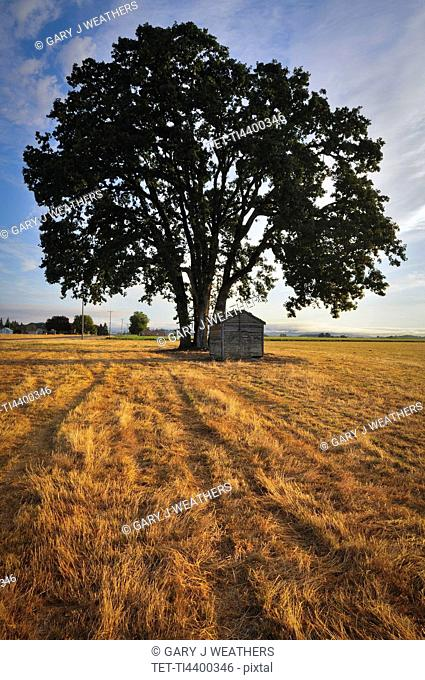 USA, Oregon, Marion County, Oak tree and shack in field