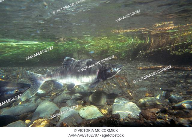 Pink Salmon (Oncorhynchus gorbuscha) Male in Spawning Ground, AK