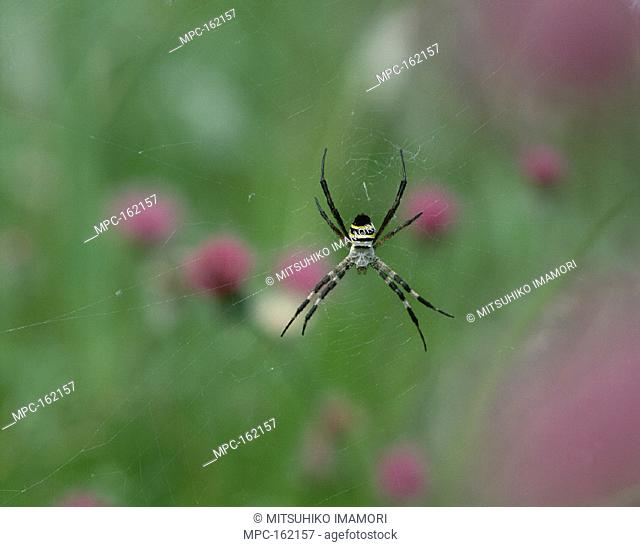 ORB SPIDER, (Argiope amoena), IN WEB, SHIGA, JAPAN