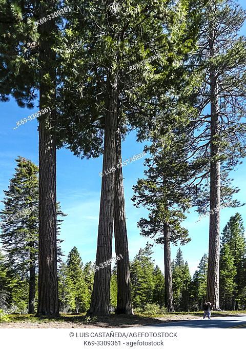 Sequoias. Sequoia National Park. California. USA