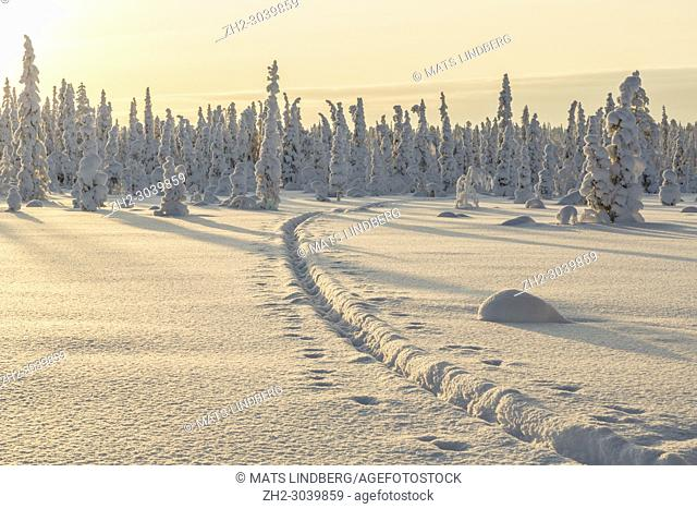 Winter landscape with reindeer tracks in the snow, clear skye and nice warm light, Gällivare county, Swedish Lapland, Sweden