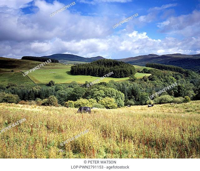 Scotland, Dumfries and Galloway, Near Glenluce. Cattle grazing on the rolling hills and fields of south-west Scotland