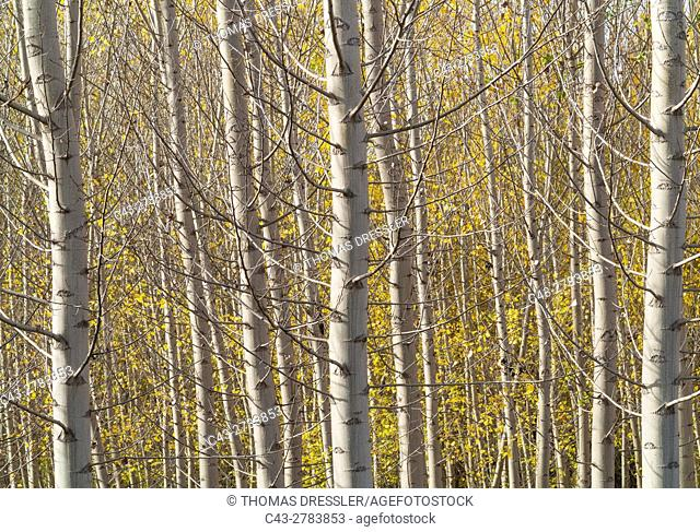Poplar trees (Populus sp. ) in autumnal colours. Cultivated for timber. Near the town of Guadix. Granada province, Andalusia, Spain