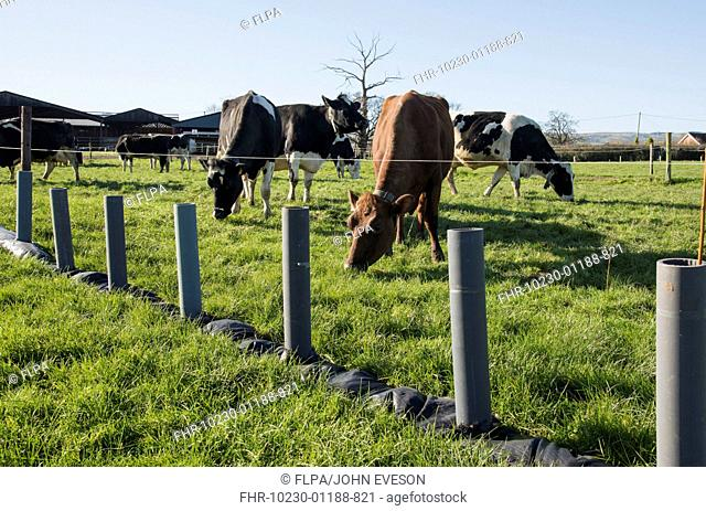 Domestic Cattle, dairy cows, herd grazing in pasture beside newly planted trees in protective tubes, Shropshire, England, February