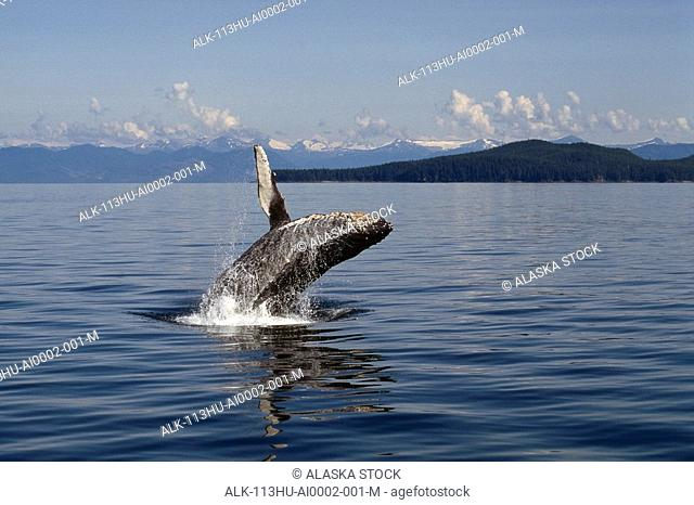 Humpback Whale Breaching Water Southeast Alaska Mountains
