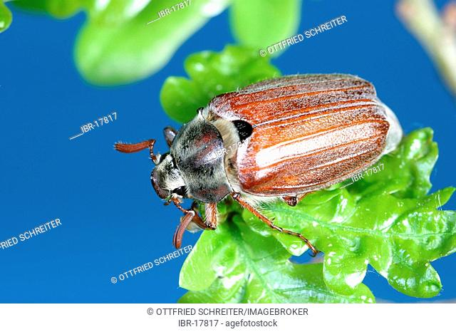 Cockchafer (Melolontha melolontha) on fresh oak leafs