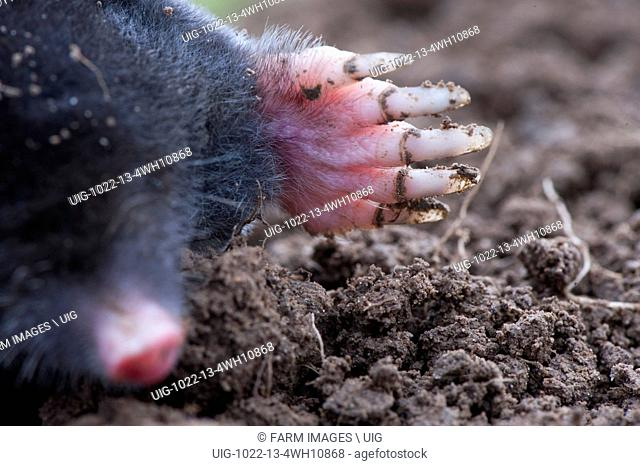 Common mole above ground, showing strong front feet used for digging runs underground. Talpa europaea. (Photo by: Wayne Hutchinson/Farm Images/UIG)
