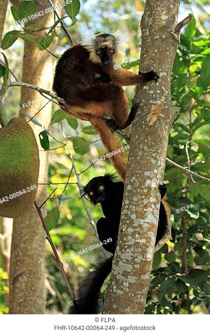 Black Lemur Lemur macaco adult male and female with baby, in tree, Nosy Komba, Madagascar