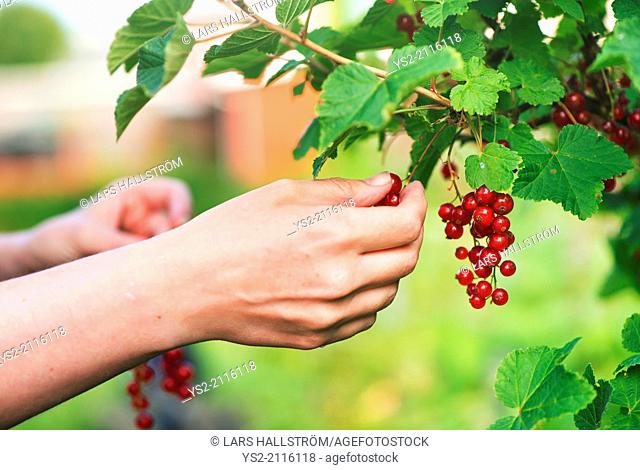Hand and redcurrants on bush. Woman picking berrier in garden