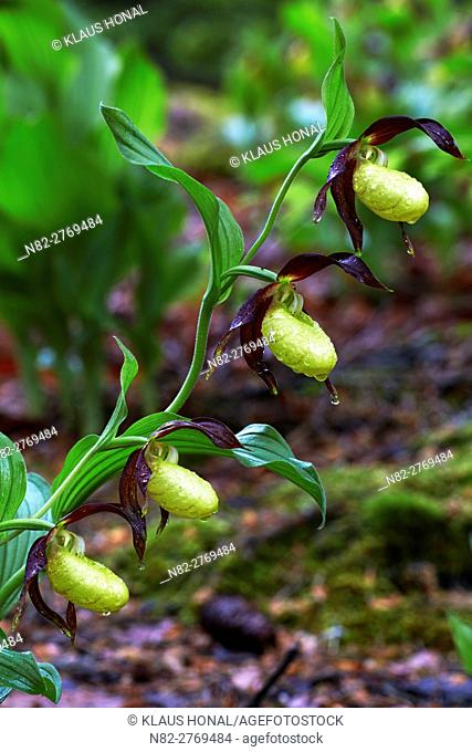 Lady's Slipper orchids (Cypripedium calceolus) blooming after heavy rain in beech forest - Bavaria / Germany