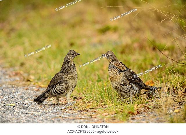 Ruffed grouse (Bonasa umbellus) Two individuals confronting one another in early autumn, Greater Sudbury, Ontario, Canada