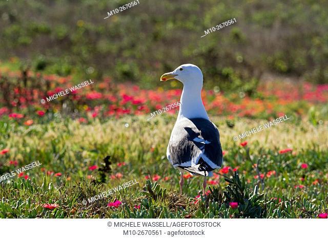 Sea gull on Anacapa Island during breeding season