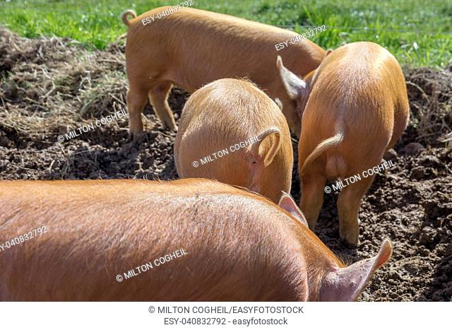 amworth Pigs foraging in the mud on a farm in Cornwall