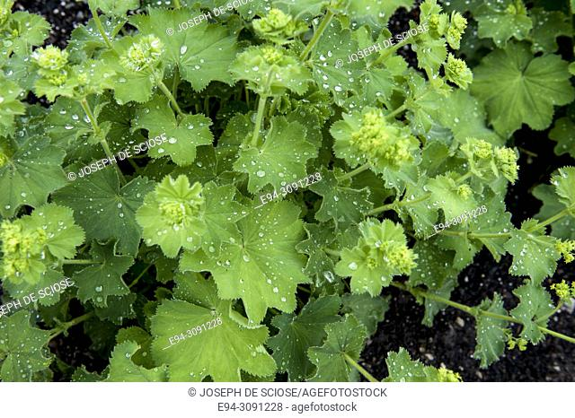 A close-up of Alchemilla mollis showing leaf detail and water drops