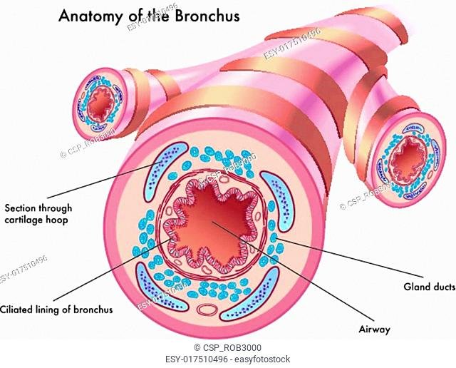 anatomy of the bronchus