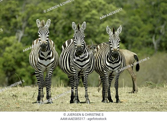 Group of Three Grant's Zebra (Equus burchelli boehmi), adults, Masai Mara, Kenya