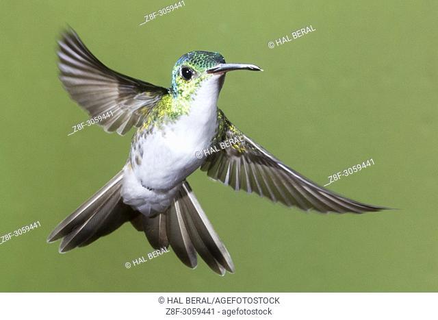 Andean Emerald Hummingbird female flying (Amazilia franciae). Ecuador