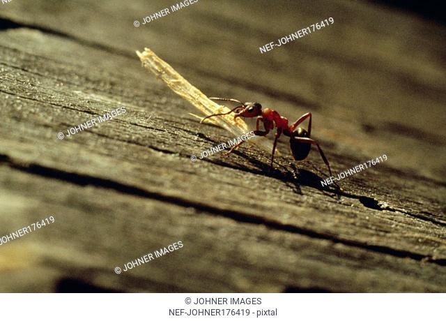 Ant carrying wood shaving, close-up