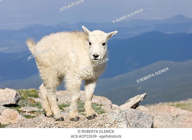 Mountain goat Oreamnos americanus, kid, Mount Evans Wilderness Area, Colorado, USA