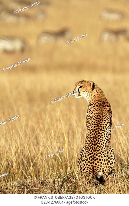 Single Cheetah