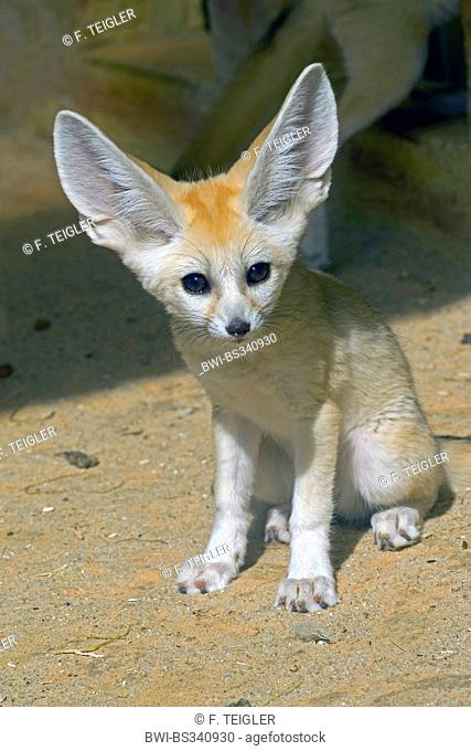 fennec fox (Fennecus zerda, Vulpes zerda), cub sitting in the sand among rocks