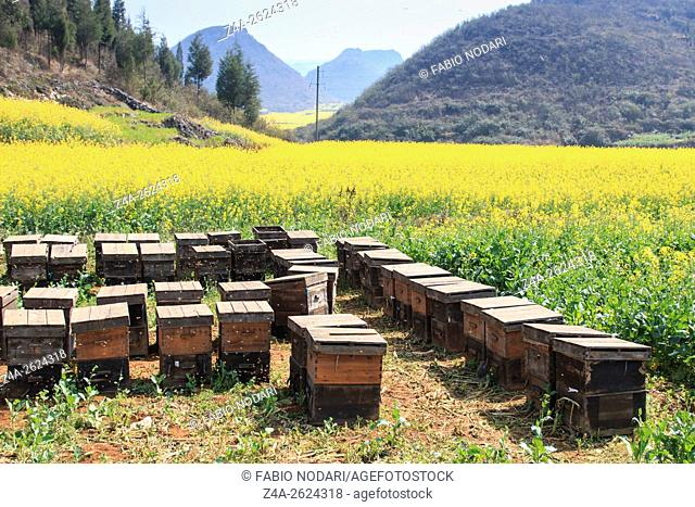 Beehive among rapeseeds flowers fields in Luoping, Yunnan - China