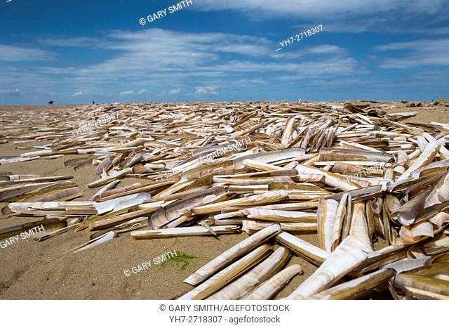 Razor shell, Ensis arcuatus, wreck of empty shells on sandy beach, Norfolk, England, July
