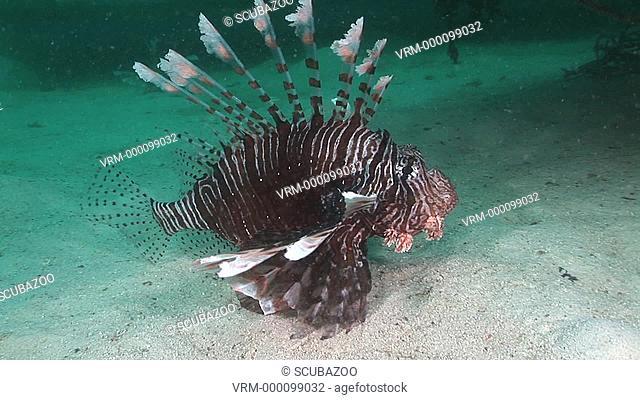 Lionfish or Turkeyfish Pterois volitans drifting over sandy bottom. Kapalai, Borneo, Malaysia