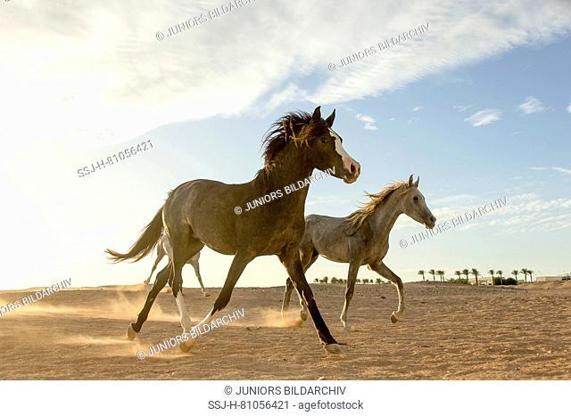 Arabian Horse. Juvenile mares trotting in the desert at sunset. Egypt