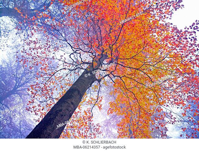 Germany, Hesse, Biedenkopf, natural park Lahn-Dill-Bergland, Beech tree in autumnal foliage, fog, sunlight