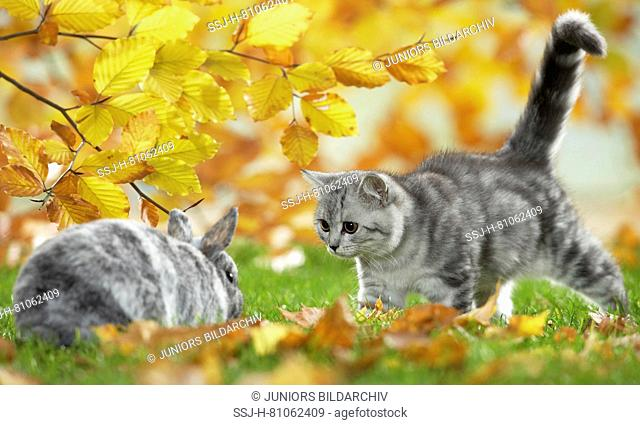 British Shorthair Cat and Dwarf Rabbit. Tabby kitten and bunny meeting in a garden in autumn. Germany
