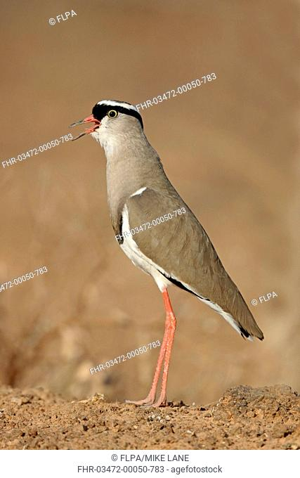 Crowned Lapwing (Vanellus coronatus) adult, calling, standing on dry ground, South Africa, August